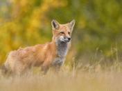 Scruffy the Fox