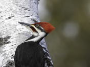 Pileated woodpecker close-up