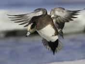 male american wigeon landing