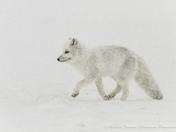 Arctic Fox on a snowy day