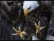 Bald Eagles Talons