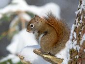 Little Red Squirrel in Algonquin Park