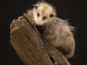 Female Opossum