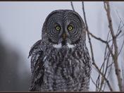 Great Grey Owl staredown