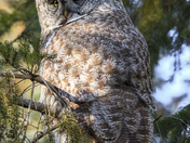 The Sentry in the Spruce (Great Gray Owl)