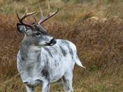 The almost white buck