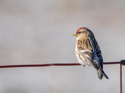 Common Redpoll resting on a wire fence