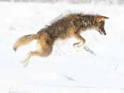 Coyote In The City