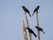 Four Grackles
