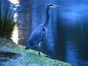 Great Blue Heron at dusk.