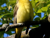 Mystery Bird Was A Female Scarlet Tanager