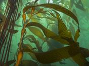3a. Giant kelp