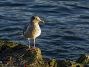 Sunning Sea Gull