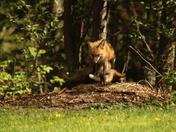 red fox fammly