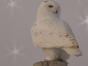 A Winter White Snowy Owl