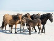 Wild Horses of Sable Island National Park Reserve