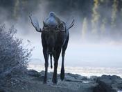 Charging Moose