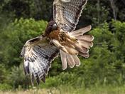 "Flight Action  of ""THE HAWK"""