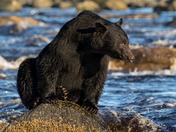 Coastal Black Bear