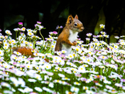 red squirrel in english daisies