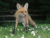 red fox in english daisies