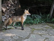 red fox coming out of forest