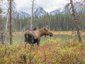 Moose and scenery