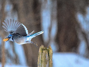 blue jay stealing his supper