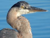 Blue Heron by Blue water