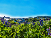Newfoundland Hyacinths