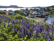 The Hyacinths of Trinity Bay, Newfoundland