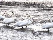 Trumpeter Swans, Kamloops BC