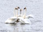 Trumpeter Swan Lovefest