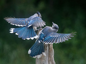 blue jay mates