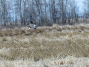 Hunting Northern Harrier