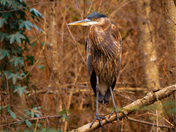 Great Brown Heron
