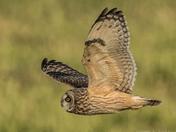 Sort Eared Owl Soaring