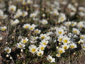 Arctic mountain avens forming a large colony of flowers on the arctic tundra