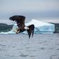 Bald Eagle and Iceberg