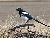 Our friend the Magpie!