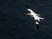 Gannet in Cape St. Mary's Ecological Reserve