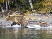 Running Bears !