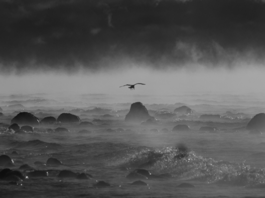 A gull through the sea smoke