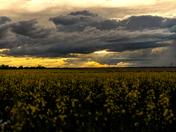 A Saskatchewan Canola Field