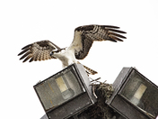 Young Osprey About To Lift Off
