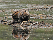 A duo of beavers
