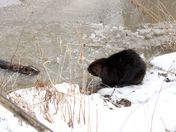 Young muskrat meeting the beaver