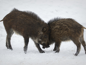 Baby Boars