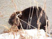 Beaver: Hiding in plain sight