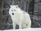 Arctic Wolf Protecting Young